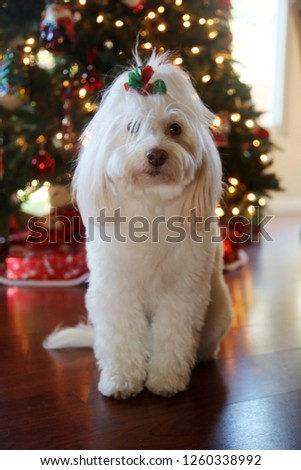 Dog Christmas Portraits. Maltese Dog Christmas. A beautiful female Maltese Dog poses with a red and green bow for Christmas Photos in front of a Christmas Tree. Dog holiday Photo.