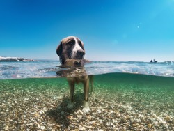 Dog cooling in the sea, half underwater shot