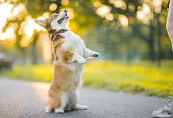 dog corgi standing on his two hind legs, doing a trick and training with the owner, in the park