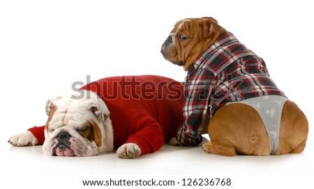 dog couple - english bulldog couple isolated on white background