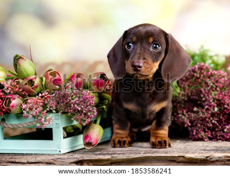 dog dachshund brovn and tan color portrait sitting retro  background Сток-фото ©