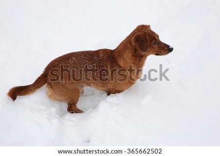 Dog dachshund in the deep snow #365662502