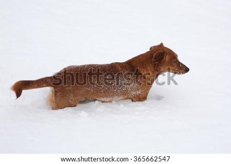 Dog dachshund in the deep snow #365662547