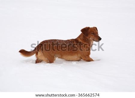 Dog dachshund in the deep snow #365662574