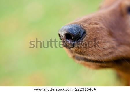 Dog dachshund nose #222315484
