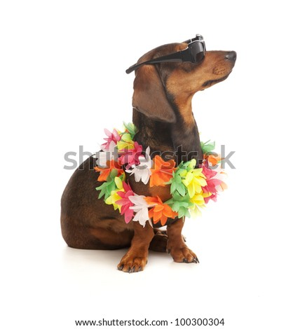 dog dachshund with flower wreath and sunglasses on white background