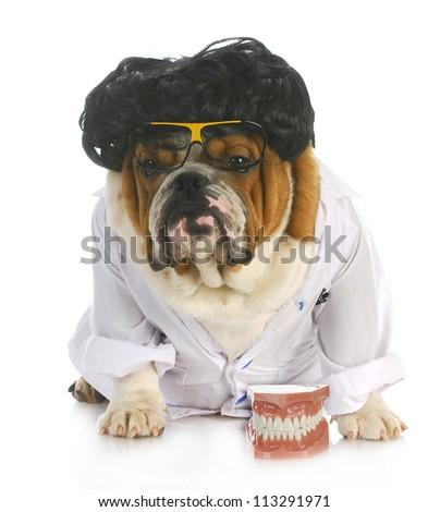 dog dentistry - english bulldog dentist in lab coat with teeth