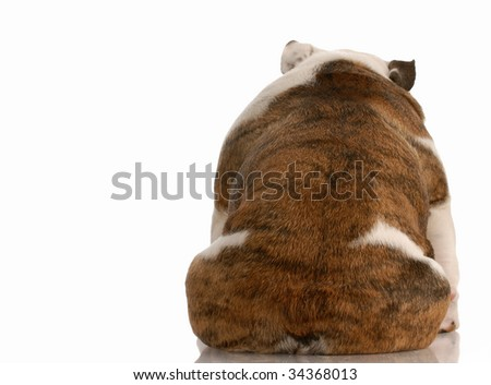 dog depression - english bulldog from the backside with reflection on white background