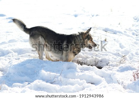 dog dig a cave in snow Photo stock ©
