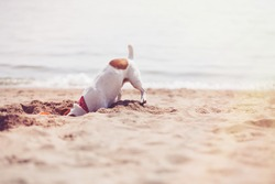 Dog digging sand on beach.Small Jack Russell puppy playing with frisbee disc on the seaside digging sand.Cute small domestic dog,good friend for family