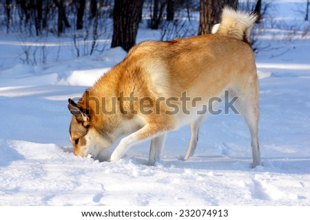 Dog digging snow. Dog thrust the head into a hole. Brown husky sniffing at snow.