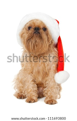 Dog Dog breeds Bruxellois Griffon with a Christmas hat