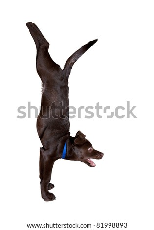 dog doing Adho Mukha Vrikshasana handstand pose isolated at white background