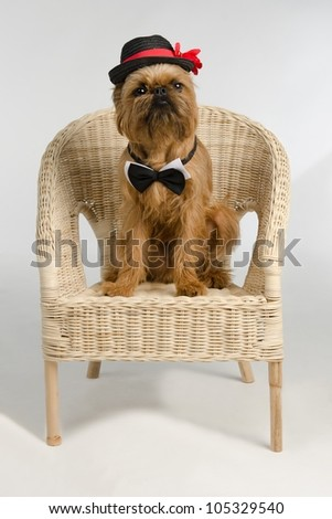 Dog dressed as a groom sits on wicker armchair