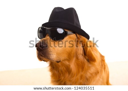 Dog dressed as mafia gangster with black hat and sunglasses golden retriever - stock photo