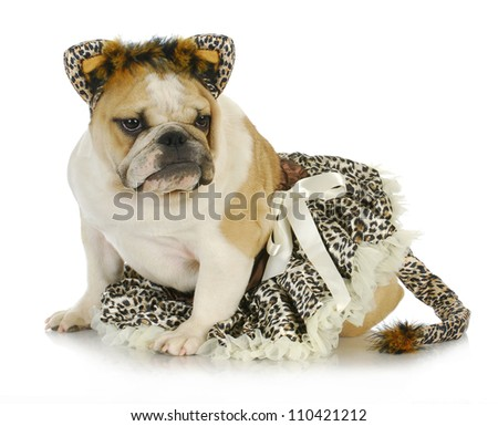 dog dressed like a cat - english bulldog wearing cat costume on white background