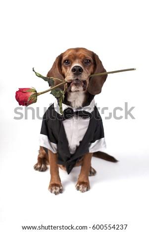 Dog Dressed up in Tuxedo Holding Rose High Key #600554237