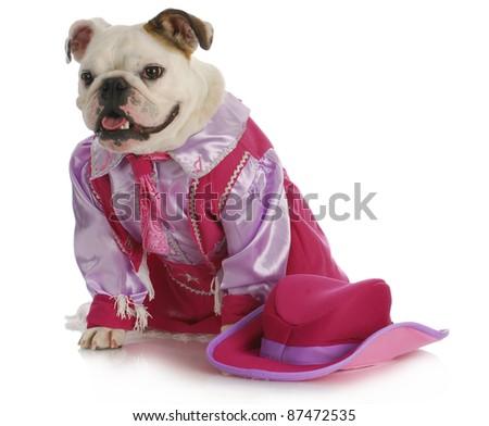 dog dressed up like a cowgirl - english bulldog wearing western costume sitting on white background