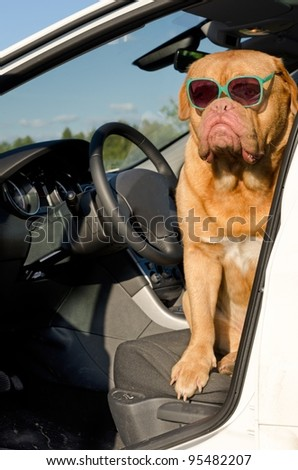 Dog driver with sunglasses sitting in the car - stock photo