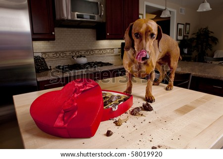 Dog eating chocolates from heart shaped box