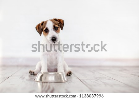 Dog eating food from bowl. Puppy jackrussell terier with dogs food