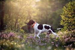 Dog english pointer running in the sunny summer forest with GPS tracker
