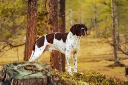 Dog english pointer standing in the wild woods under pine tree