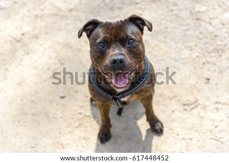 Dog (English Staffordshire Bull Terrier) is standing in the field. The dog is happy and smiling. #617448452