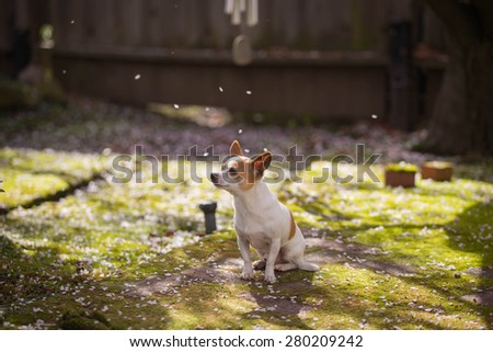 Dog enjoying Cherry Blossom