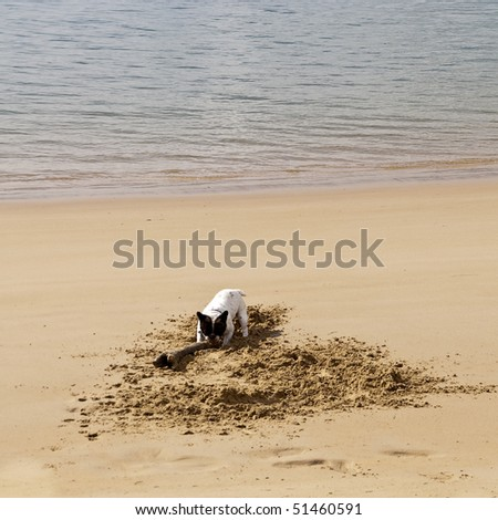 dog excavate in the sand on the beach