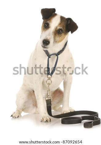 dog exercise - jack russel terrier waiting to go for a walk