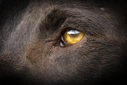 Dog eye close-up of a German Shorthaired Pointer (Deutsch Kurzhaar)