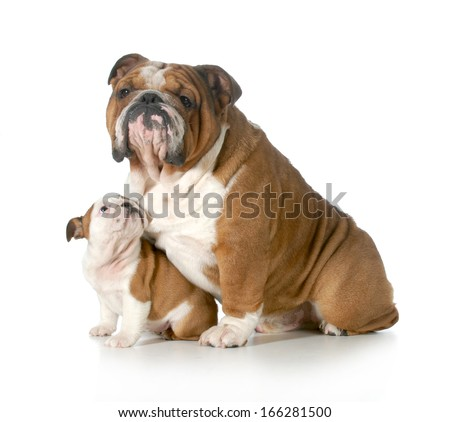 dog family - english bulldog father and daughter isolated on white background - puppy 8 weeks old