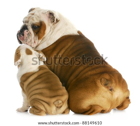 dog family - english bulldog father and son sitting with reflection on white background