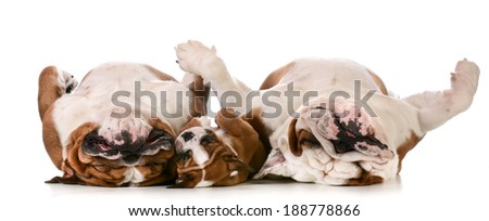 dog family - father, son and grandfather laying on back #188778866
