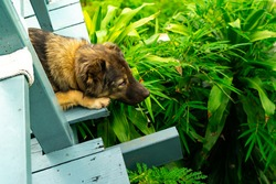Dog feel lonesome or drowsy  like dog was sick or waiting the owner on the wooden floor with green leaves background.