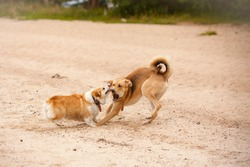 Dog fight. Attack of dogs. Corgi pembroke and mongrel. Dogs fight and play. Aggressive dog. Dog attack games