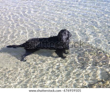 dog flat coated retriever #676959505