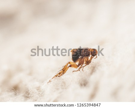Dog flea (Ctenocephalides canis) on white fur. Microscopic photo