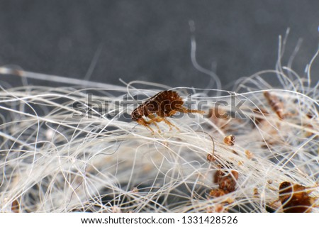 Dog fleas (Ctenocephalides canis (Curtis, 1826)) in a dog's hair clump