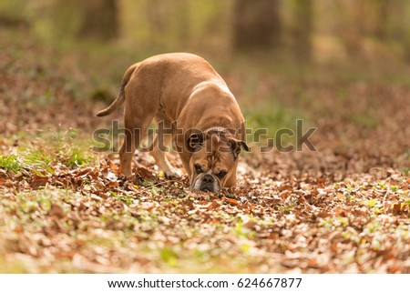 Dog follows a track - continental bulldog  #624667877