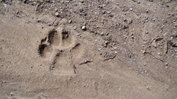 Dog footprint on the soil land Footprint dog on the earth animal track, Tracks  Dog foot prints on mud.Local dogs foot prints on earth Surface.Dogs walk on ground on sand soil - foot. Footprints