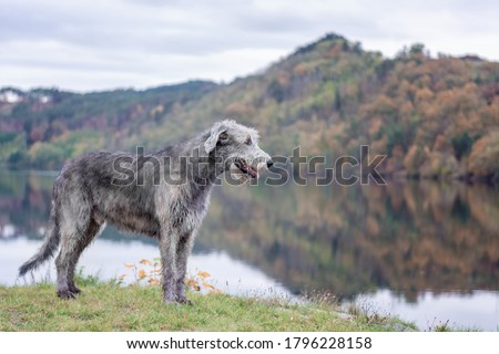 Dog friend man. A huge Irish wolfhound stands on the river bank with a blurred autumn background. Сток-фото ©