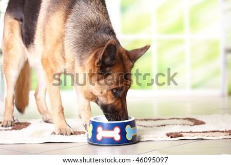Dog German shepherd eating or drinking from bowl