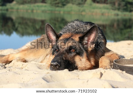 Dog german shepherd has a rest on river bank after bathing stock