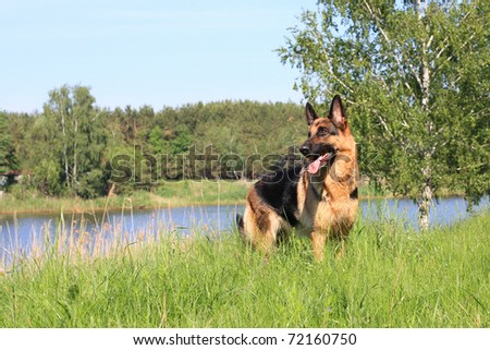 dog, German shepherd has a rest on river bank after bathing - stock photo