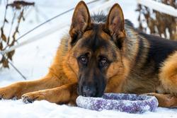 Dog german shepherd in a park in a winter day