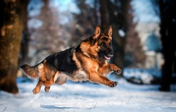 dog german shepherd running in a snowy park in winter
