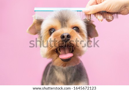 Dog gets hair cut at Pet Spa Grooming Salon. Closeup of Dog. the dog has a haircut. comb the hair. pink background. groomer concept.