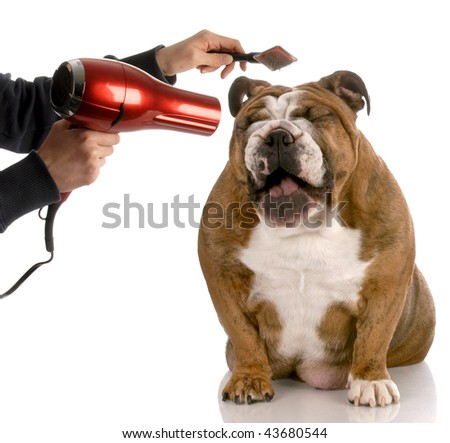dog getting groomed - english bulldog laughing while being brushed